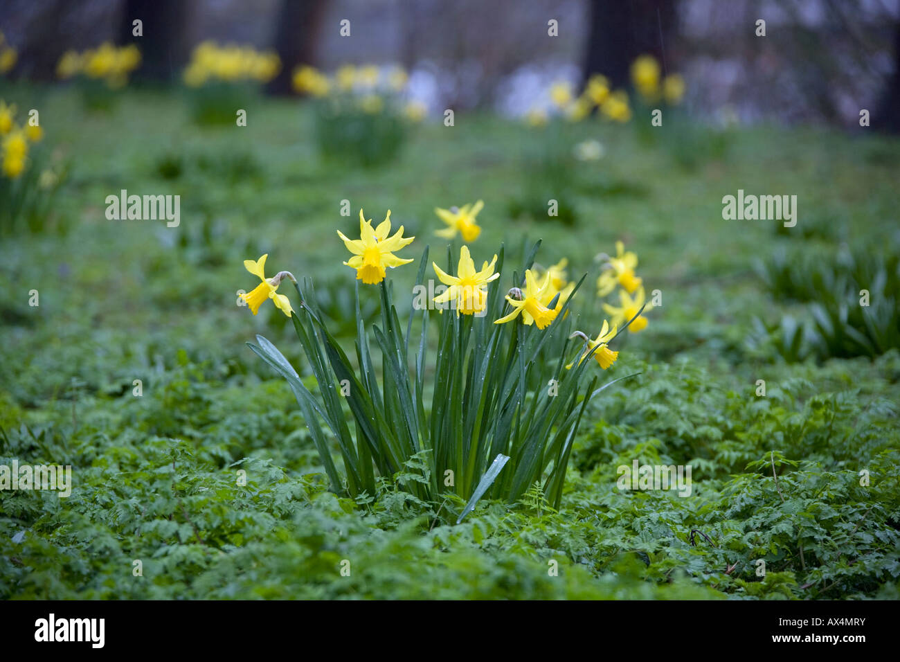 Group of yellow narcissus in woods - Stock Image