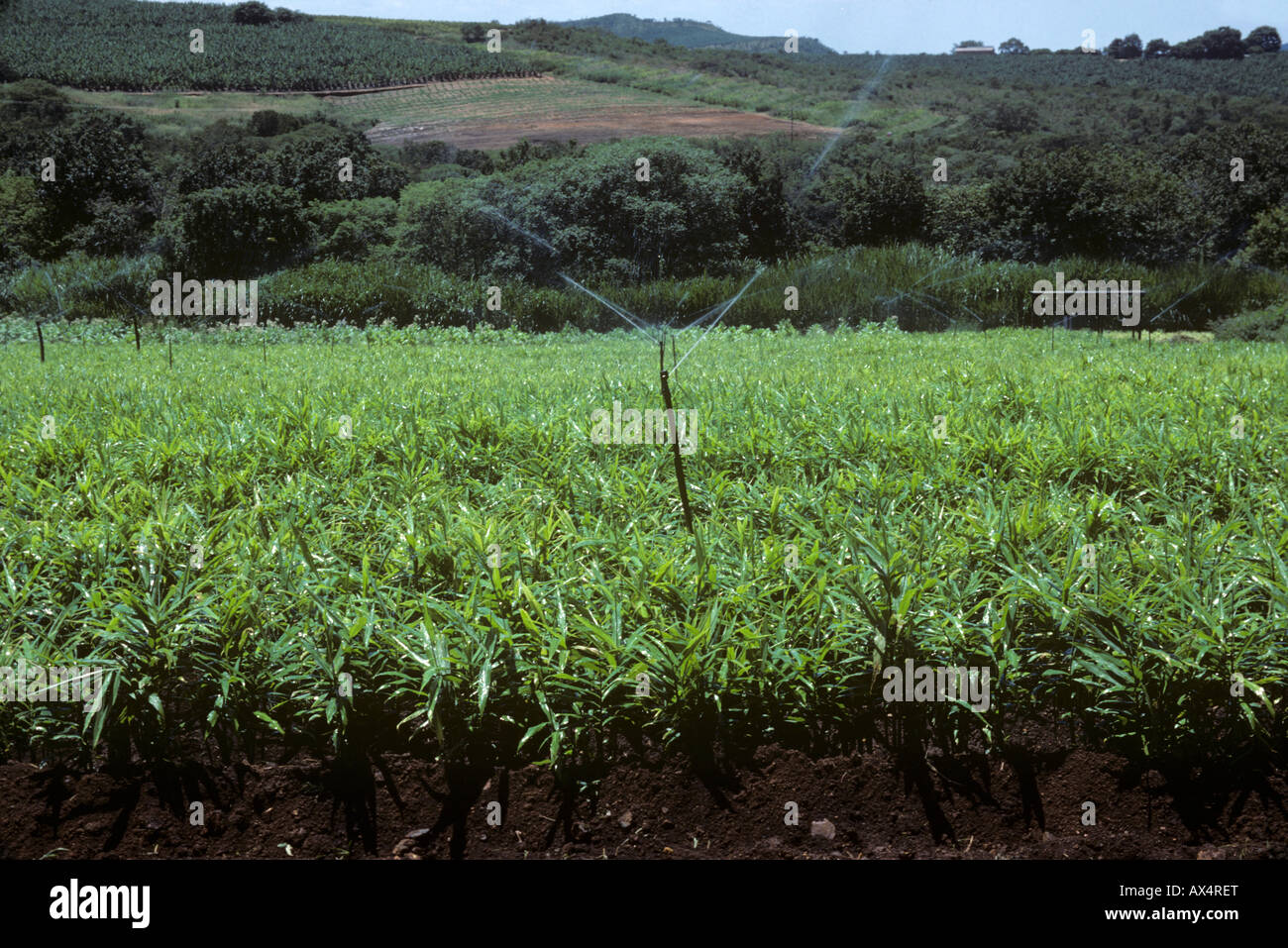 Root ginger crop with irrigation sprinklers near Nelspruit Transvaal South Africa - Stock Image