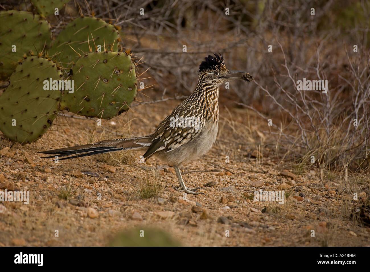 Greater Roadrunner in Sonoran Desert of Arizona - Stock Image