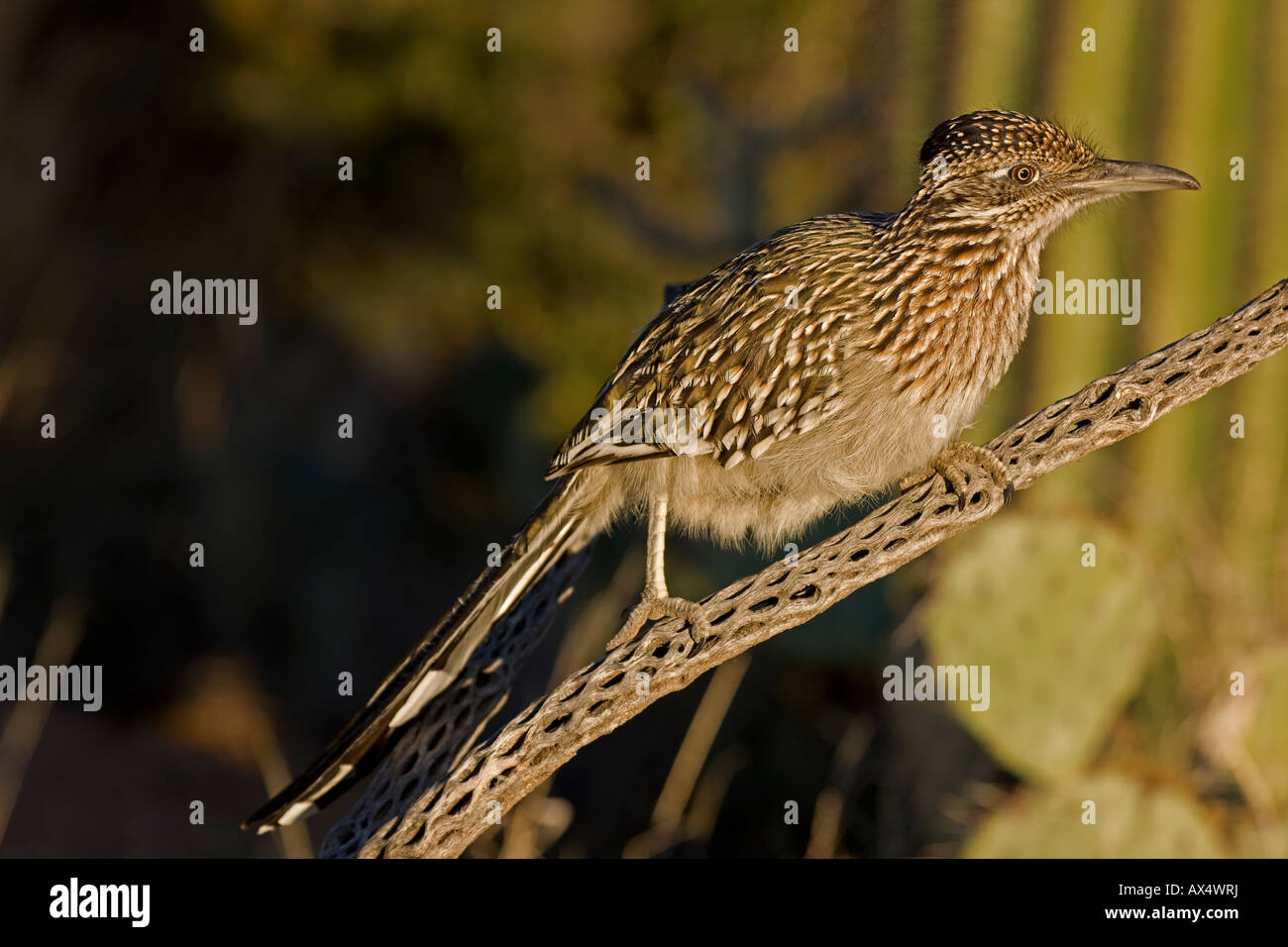 Greater Roadrunner Perched on Branch in Sonoran Desert of Arizona - Stock Image