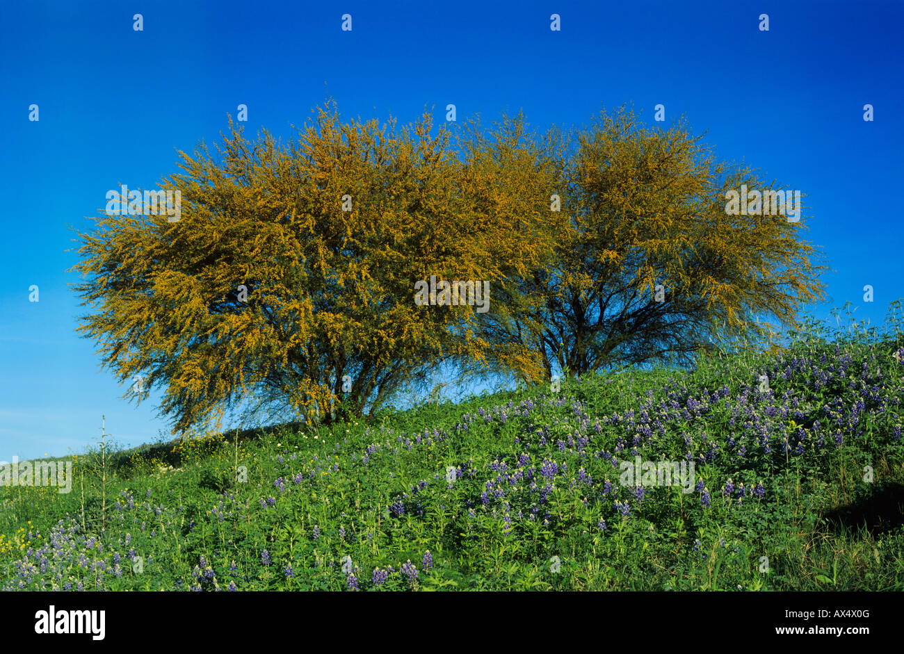 Texas Bluebonnet Lupinus Texensis And Huisache Tree Acacia
