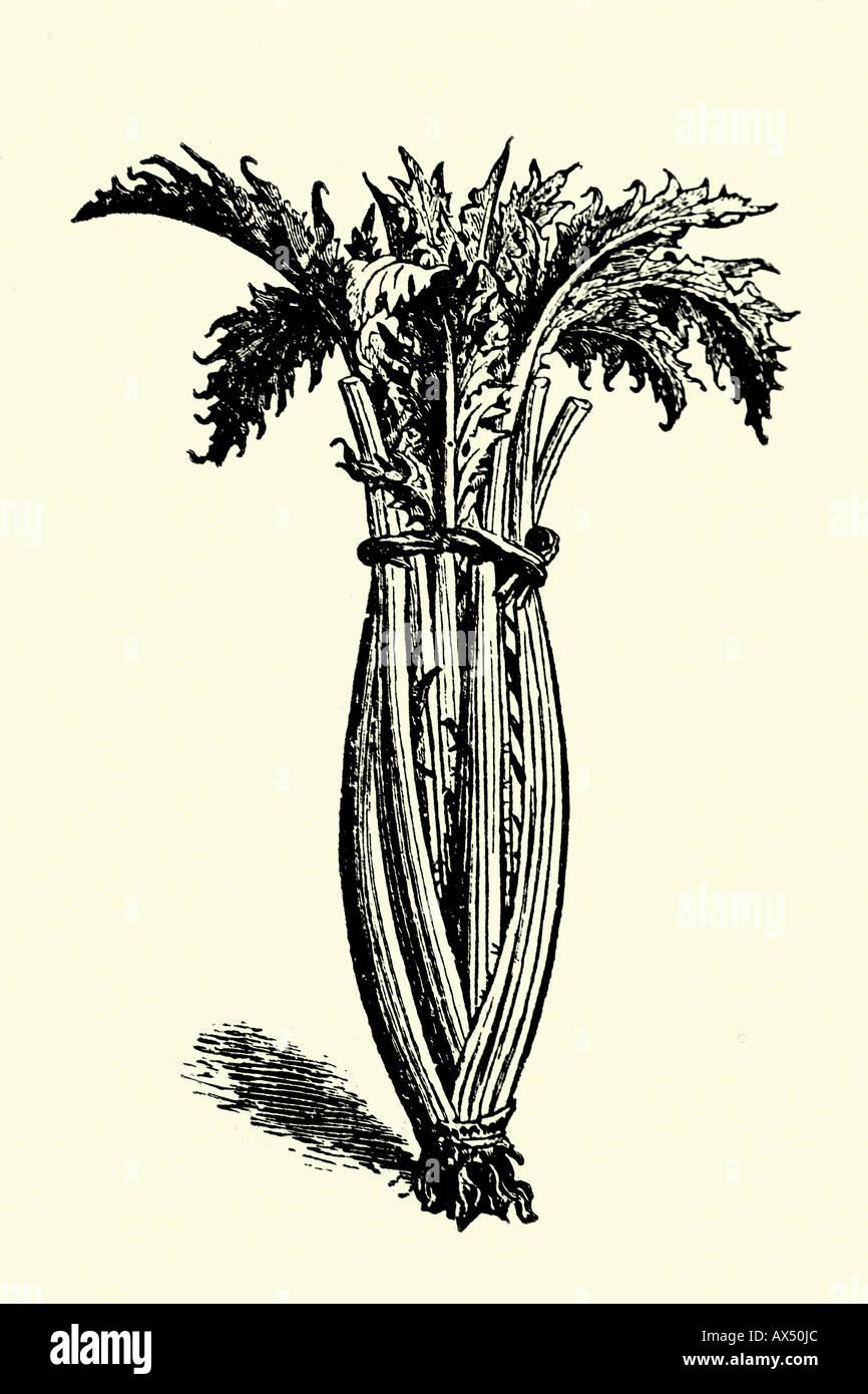 Thistle. Antique illustration. 1900 - Stock Image
