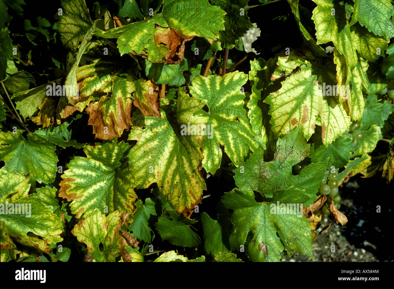 Magnesium deficiency symptoms on Chardonnay grapevine leaves Stock Photo