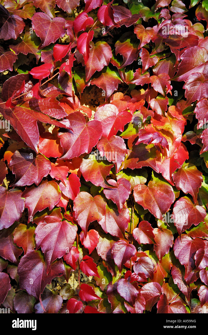 Vine leaves, Parthenocissus tricuspidata Stock Photo