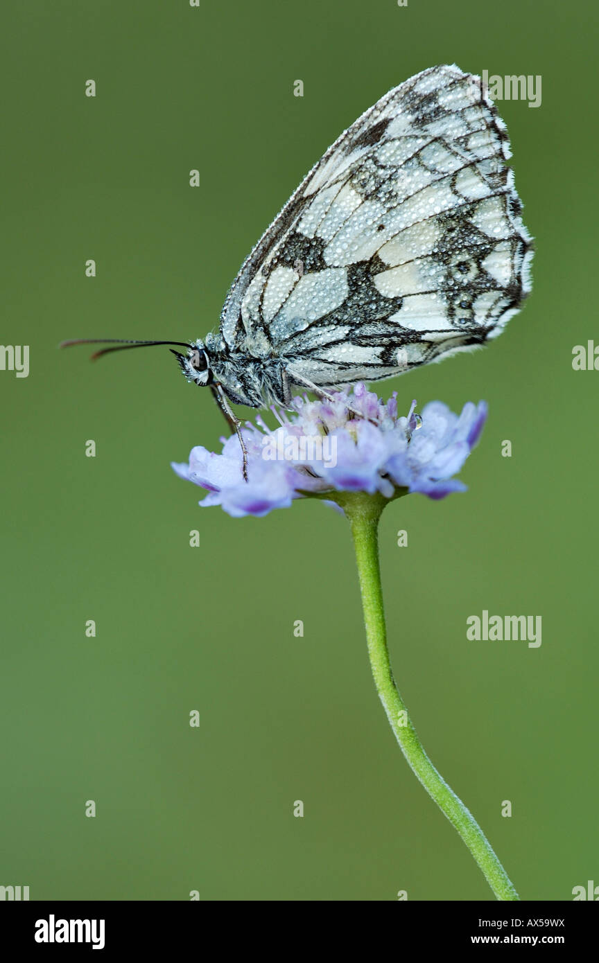 Marbled White (Melanargia galathea) with dew drops - Stock Image