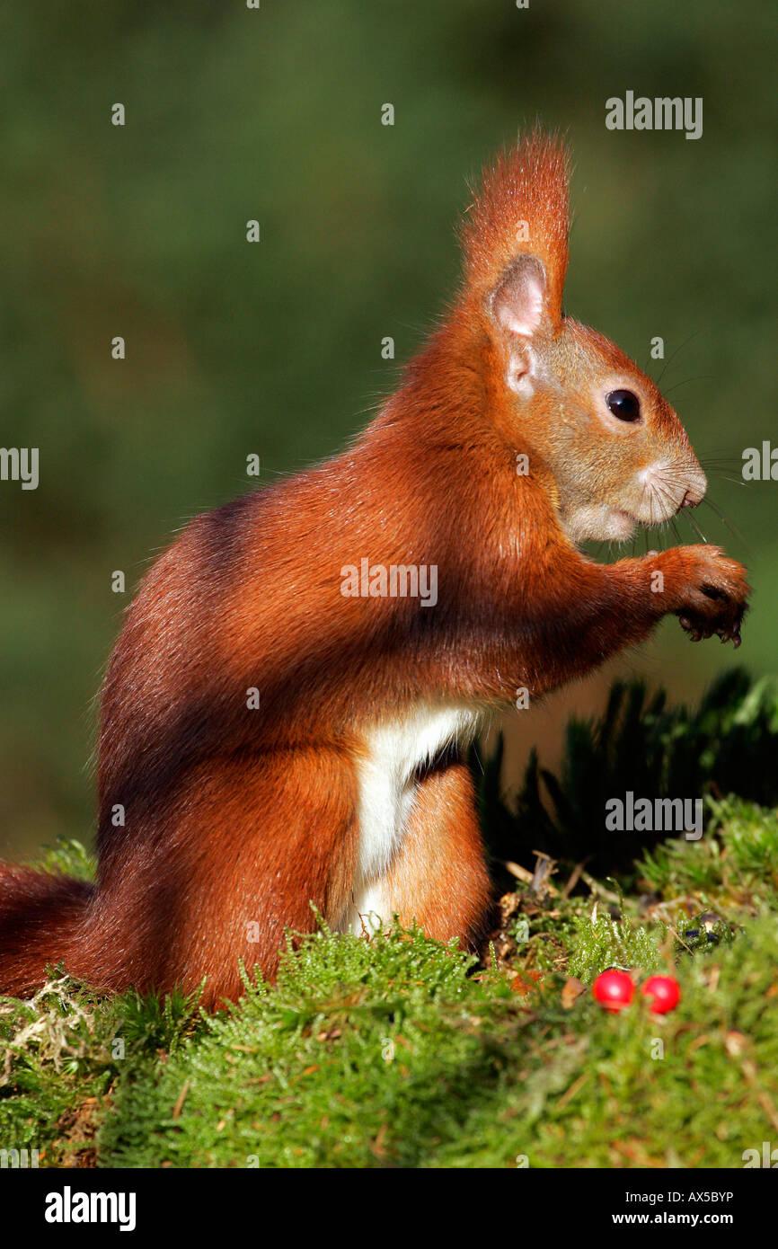 European red squirrel ( Sciurus vulgaris) Stock Photo