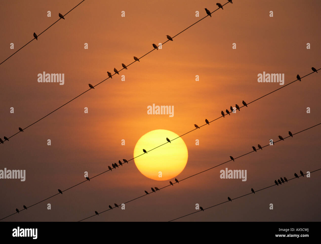Starlings (Sturnidae) perched on transmission lines against a glowing sun - Stock Image