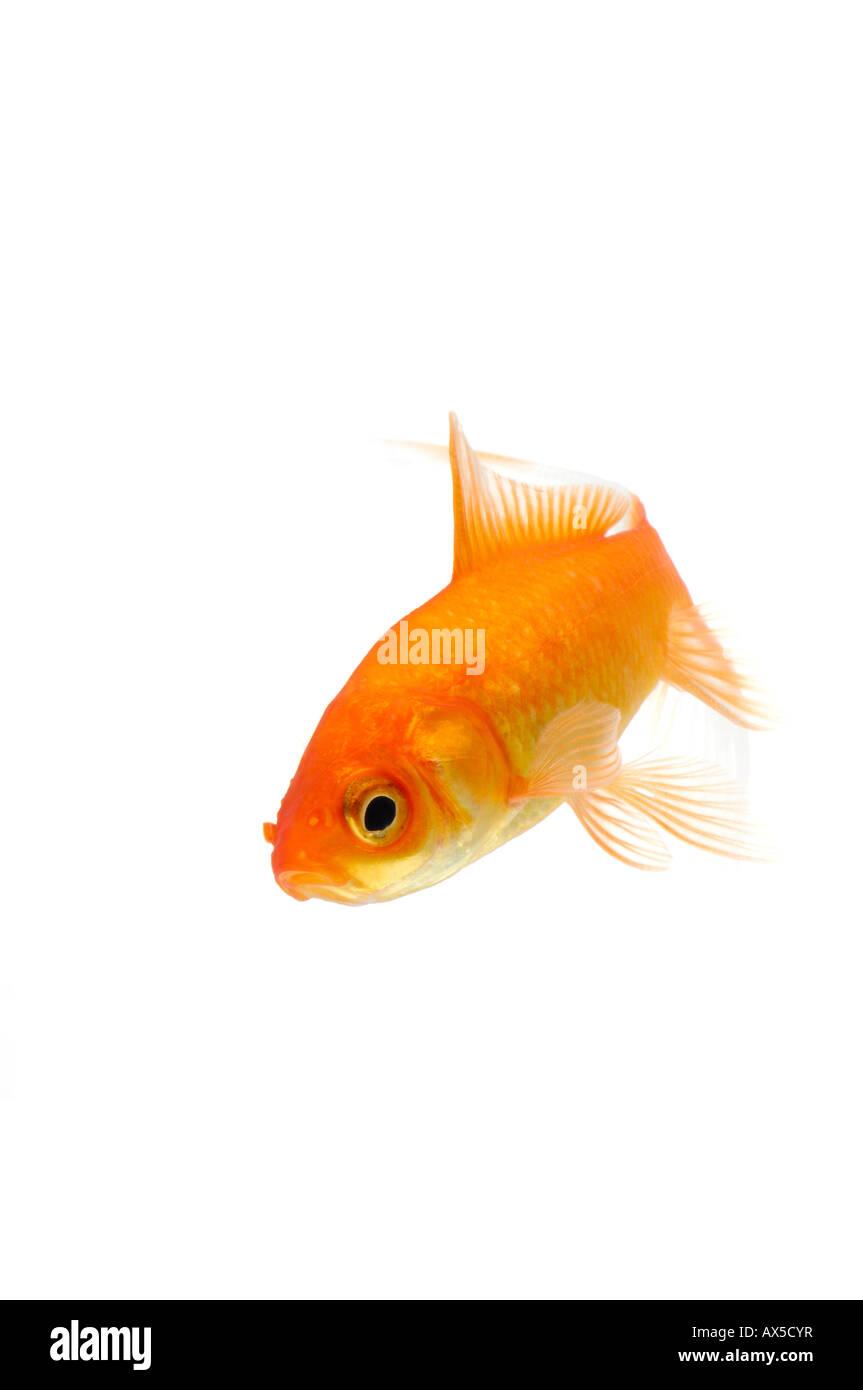 Goldfish (Carassius auratus) Stock Photo