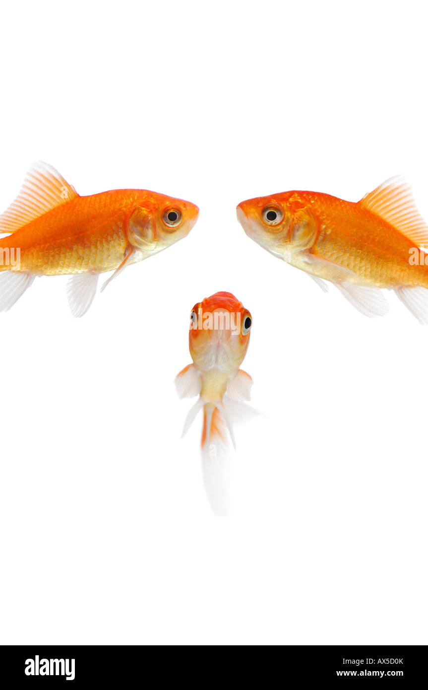 Goldfishes (Carassius auratus) Stock Photo