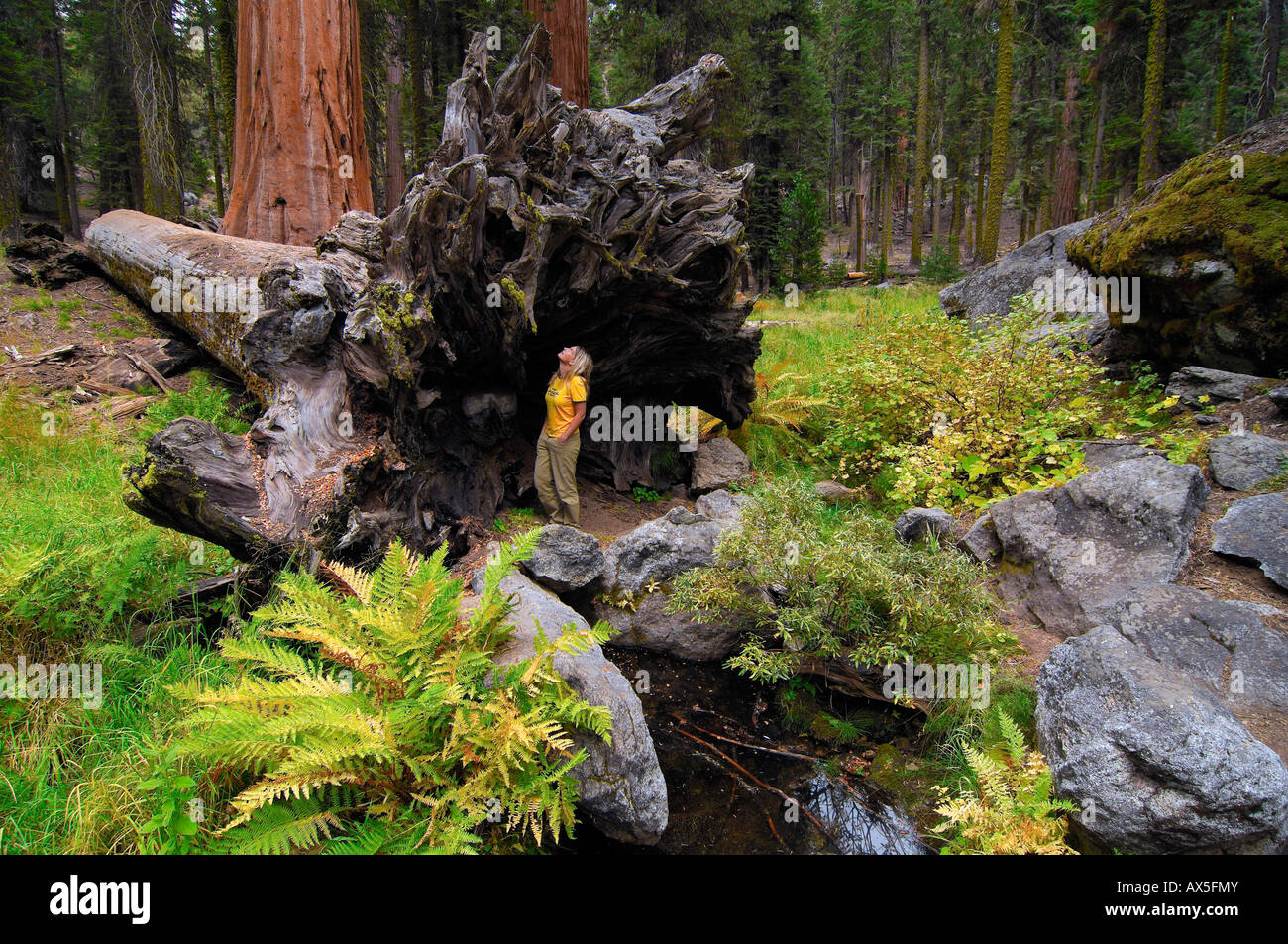 Woman standing in front of the huge roots of a Giant Sequoia (Sequoiadendron giganteum), Sequoia National Park, - Stock Image