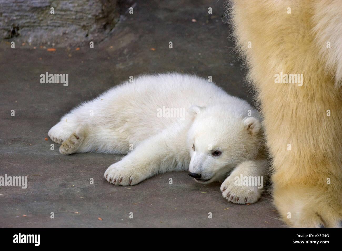 Born Bear Stock Photos Born Bear Stock Images Alamy