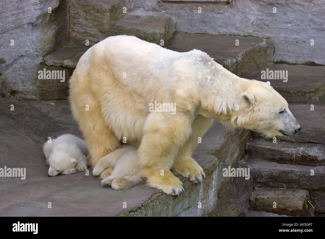 Polar Bear (Ursus maritimus) cubs, twins born December 2007 at Schoenbrunn Zoo, Vienna, Austria, Europe Stock Photo