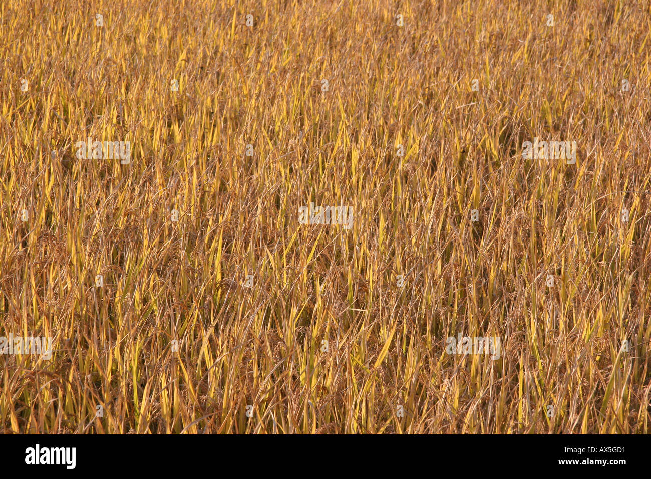 Rice field just before harvest, Korea Stock Photo