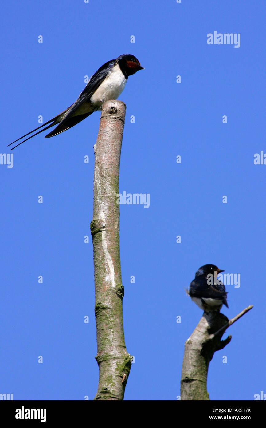 Swallow - barn swallows (Hirundo rustica) Stock Photo
