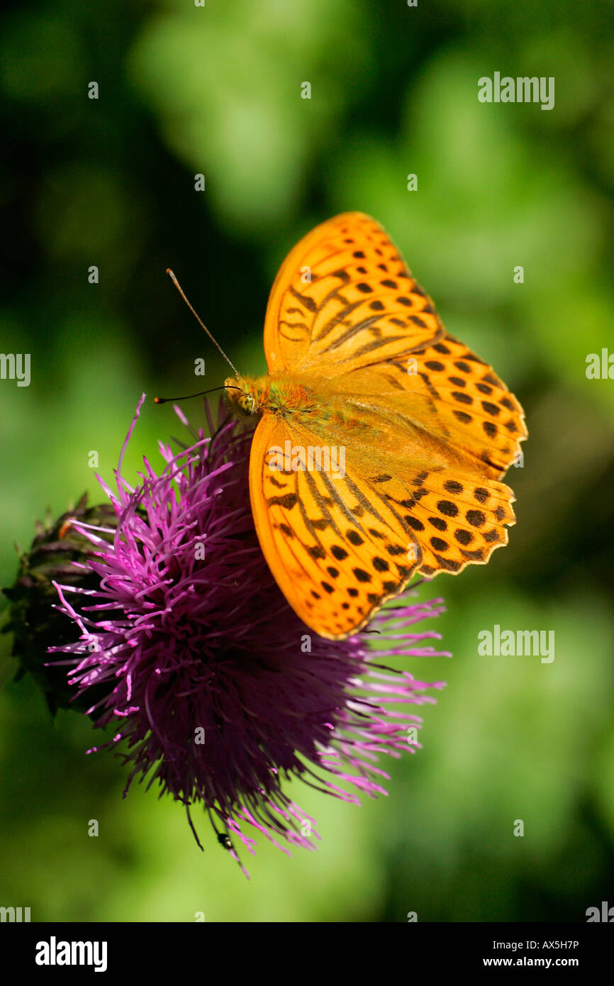 Silver-washed fritillary sitting on a blossom - butterfly (Argynnis paphia) - Stock Image
