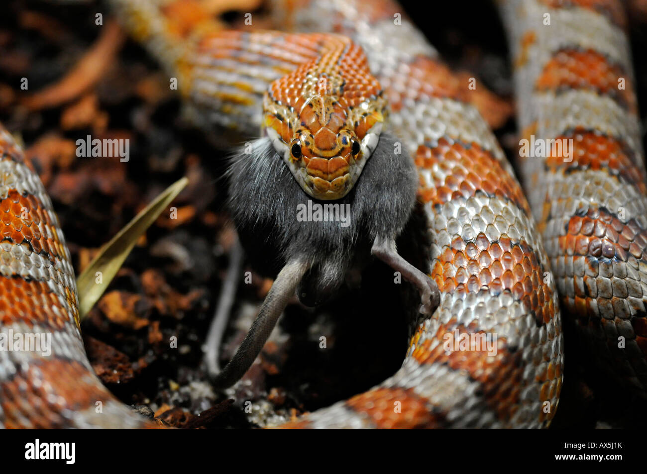 Corn Snake or Red Rat Snake (Pantherophis guttatus) eating a mouse Stock Photo