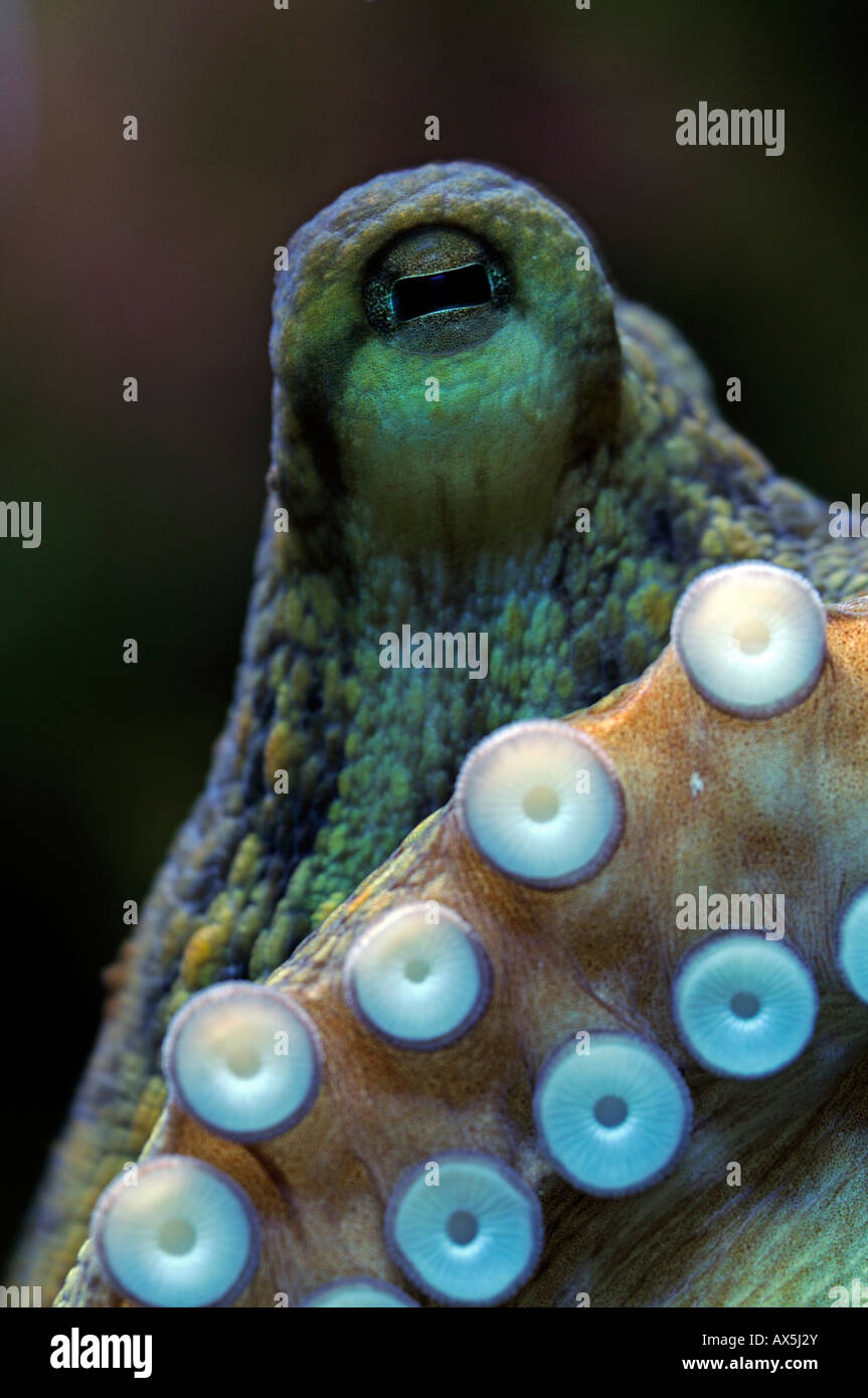 Octopus (Octopus vulgaris), eye and acetabula (suction appendages) - Stock Image