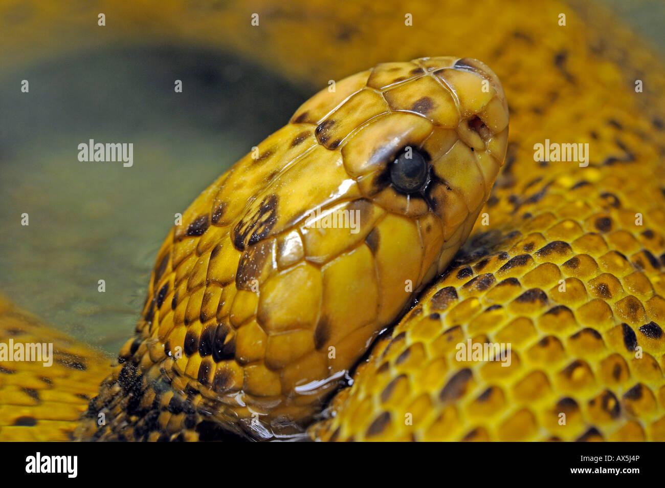 Cape Cobra (Naja nivea), very rare - Stock Image