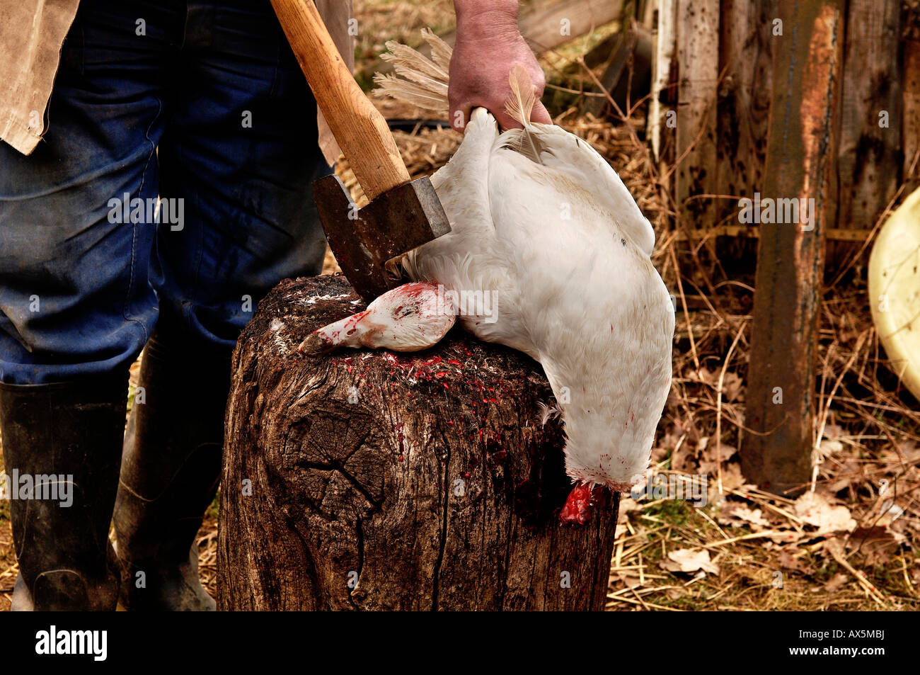 Home slaughtering (duck), farmer holding duck to bleed out on the hack stick, Eckental, Middle Franconia, Bavaria, - Stock Image