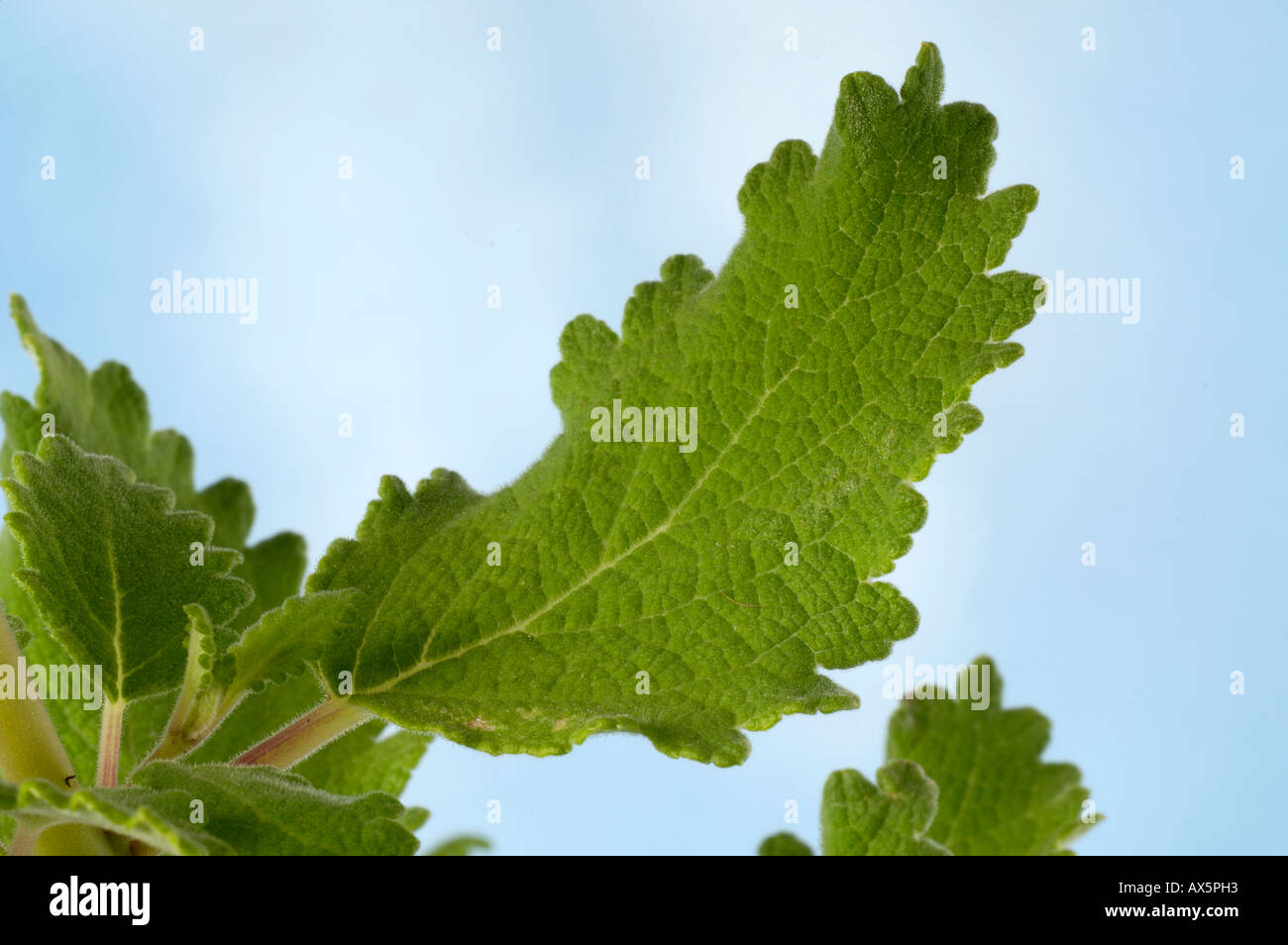 Musk Herb Plants Stock Photos & Musk Herb Plants Stock