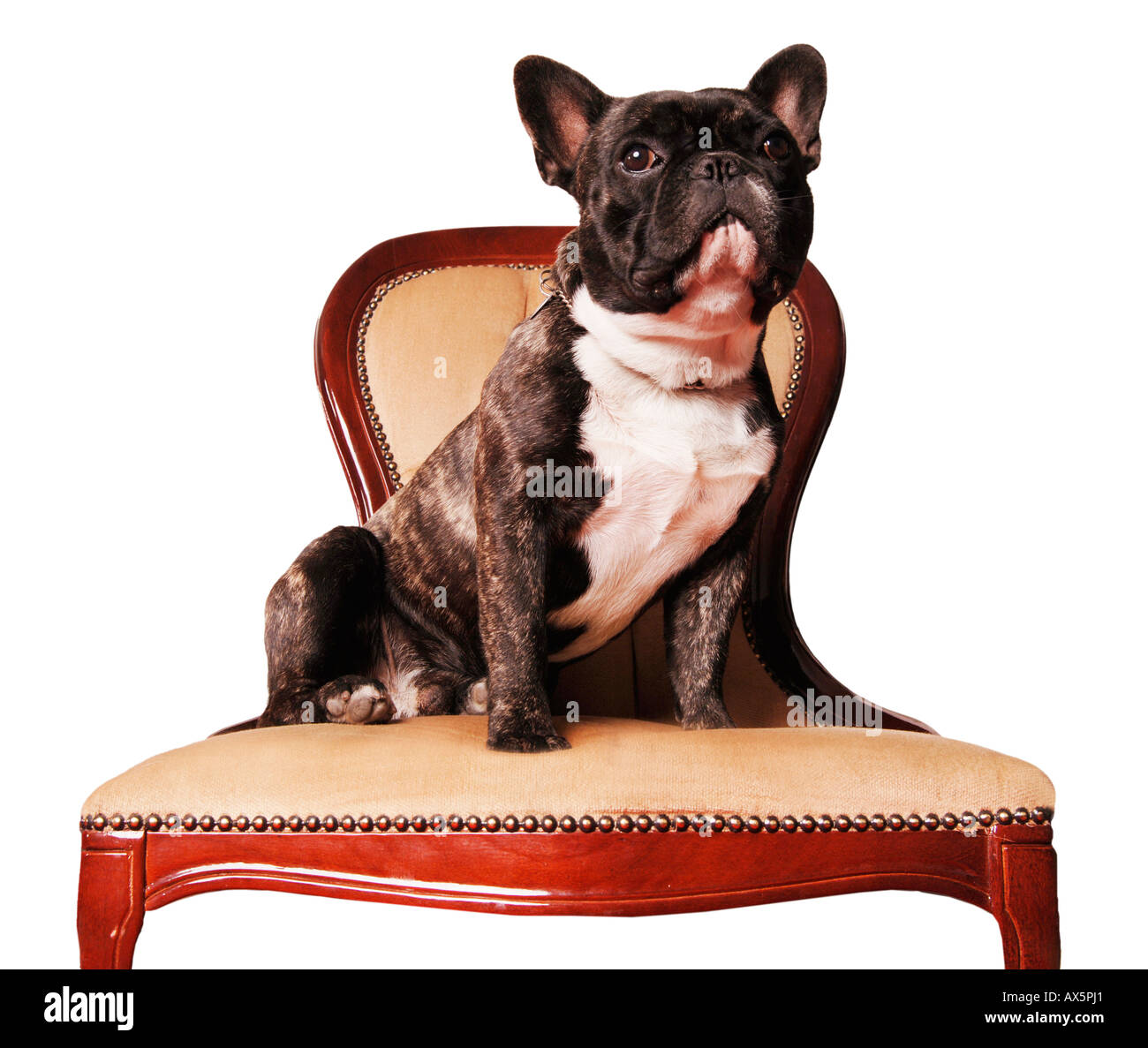 French bulldog sitting on chair - Stock Image