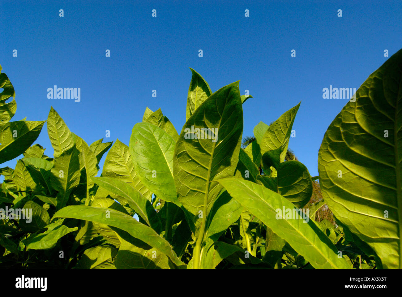 Tobacco leaves, tobacco field in Pinar del Rio, Cuba, Caribbean Stock Photo