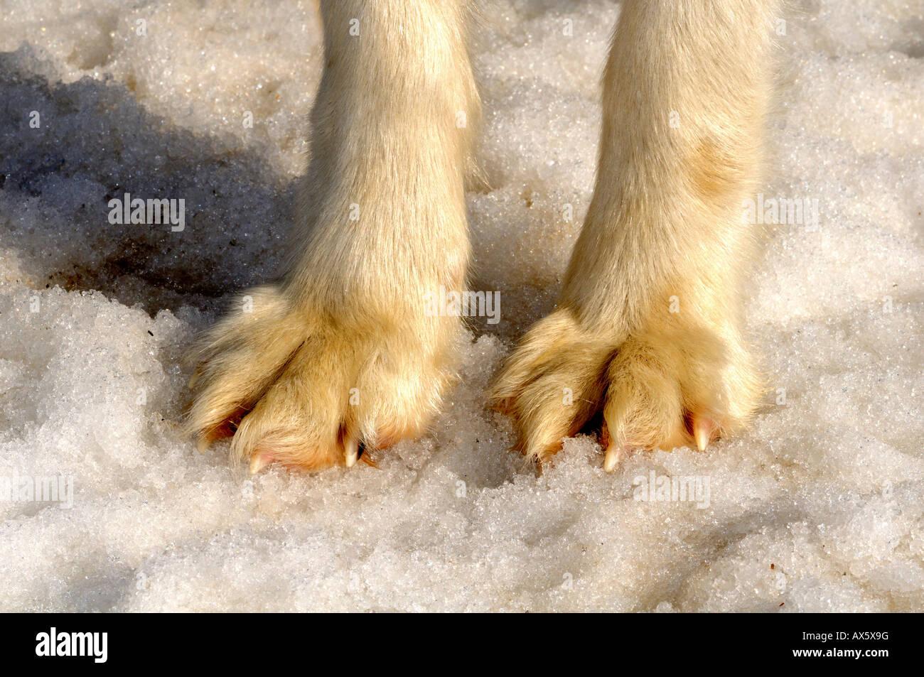 Sled dog's paws Stock Photo