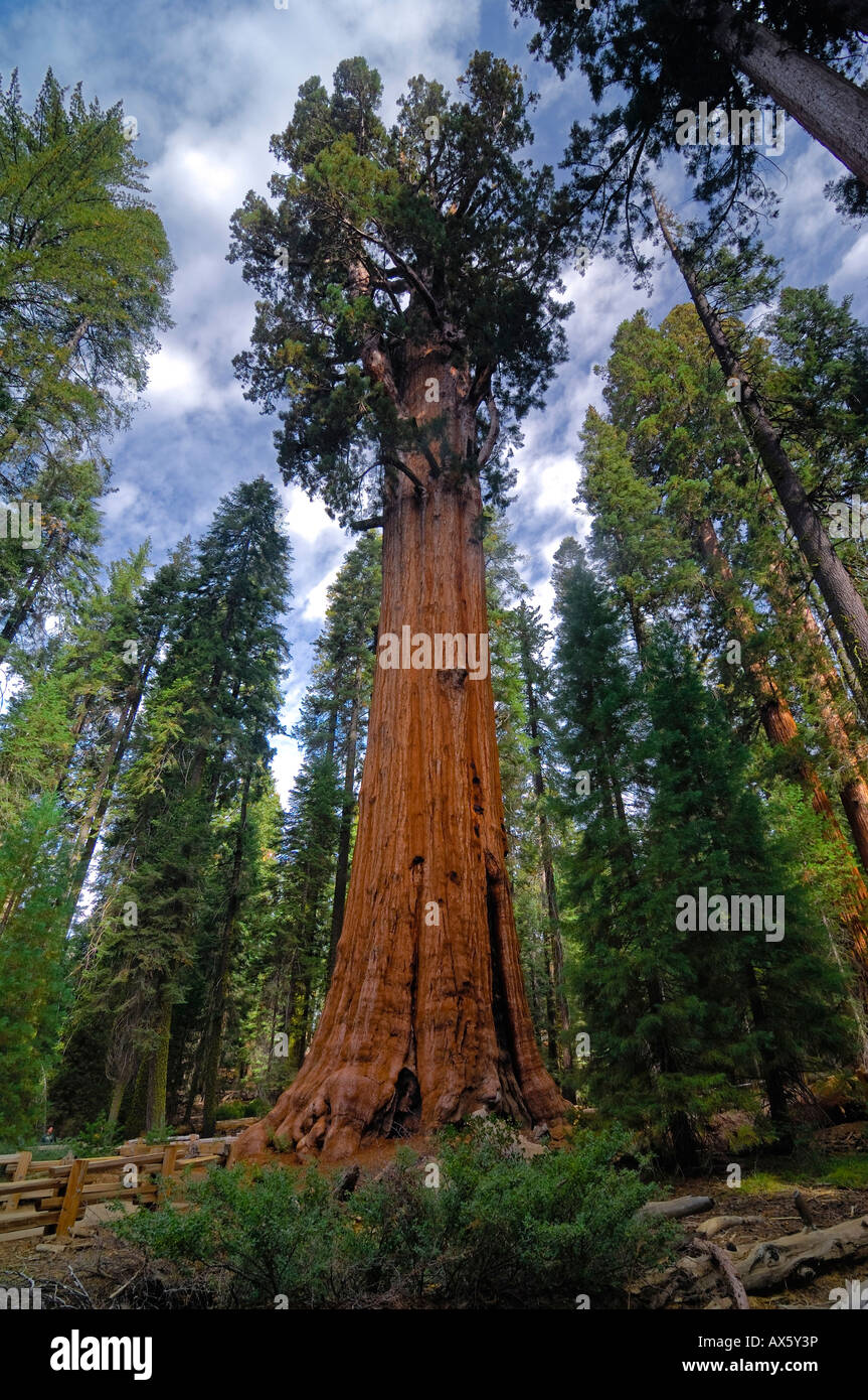 General Sherman (275 ft or 83.8 m), the world's tallest Giant Sequoia (Sequoiadendron giganteum), Sequoia National - Stock Image
