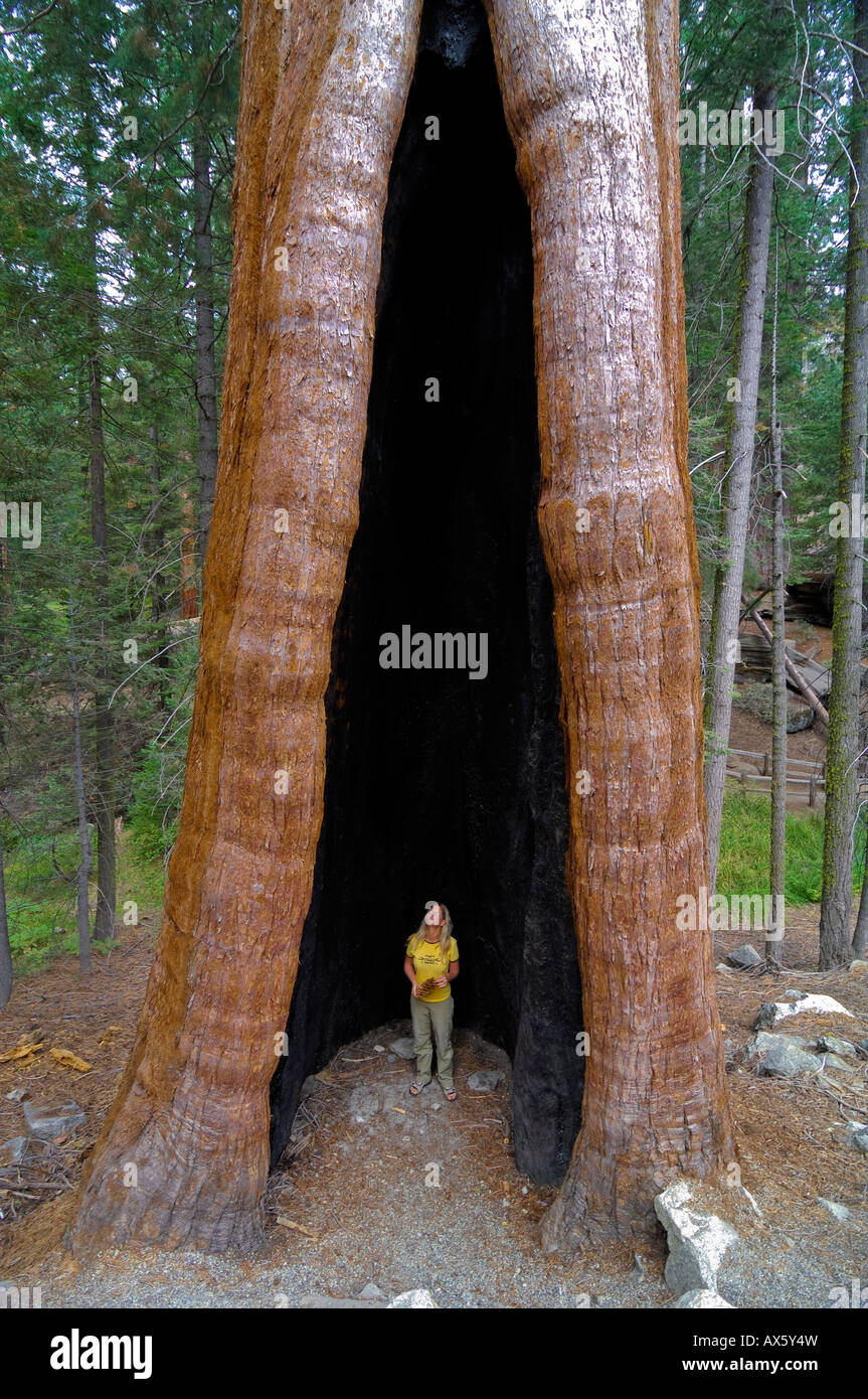 Woman standing in a huge Giant Sequoia (Sequoiadendron giganteum) tree trunk, Sequoia National Park, California, - Stock Image