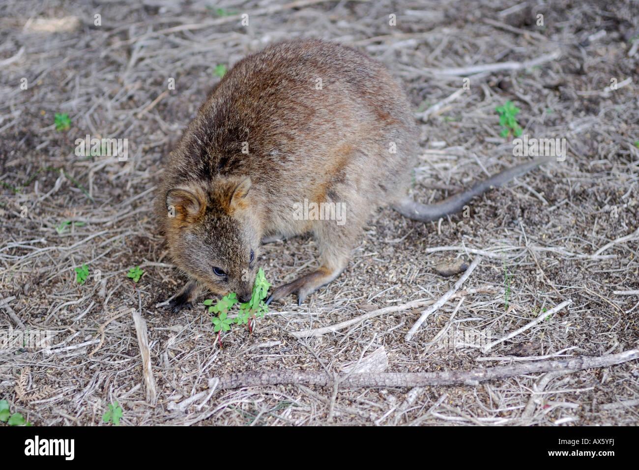 Quokka (Setonix brachyurus), marsupial species, Rottnest Island near Perth, Western Australia, Australia - Stock Image