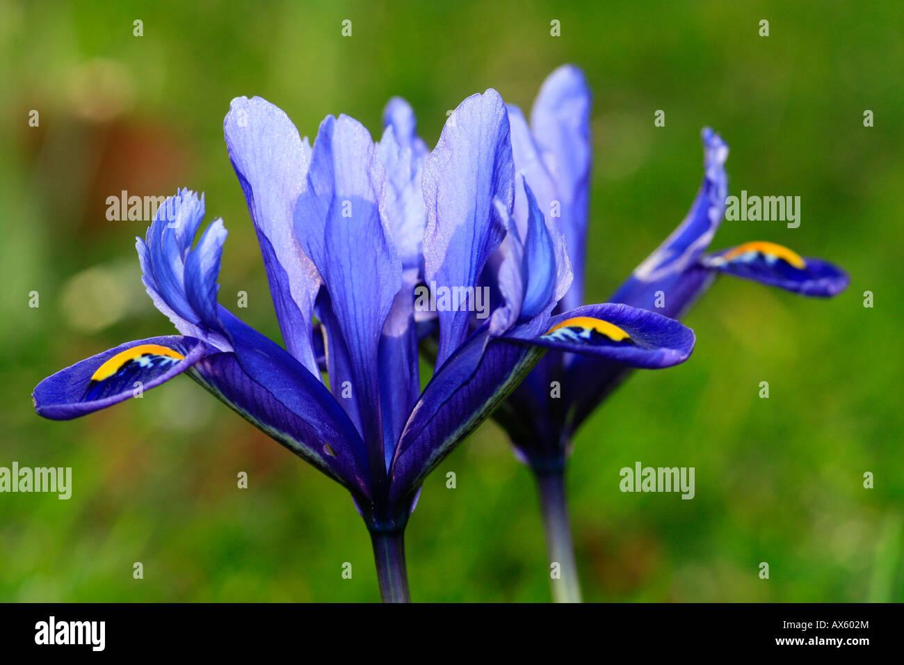 Reticulated - or Netted Iris (Iris reticulata) - Stock Image