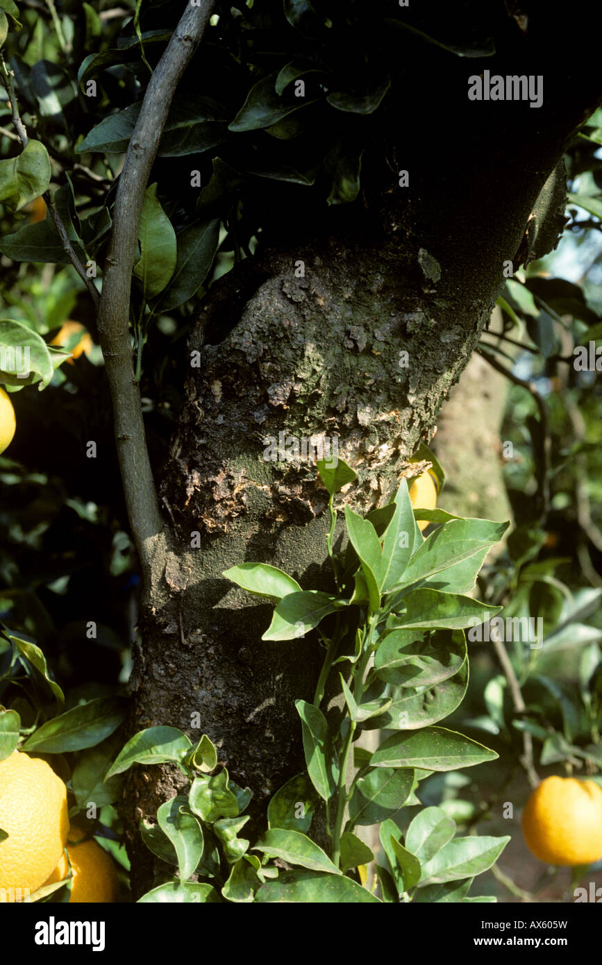 Scaly bark Citrus psorosis virus CPV symptoms on a citrus tree bark - Stock Image