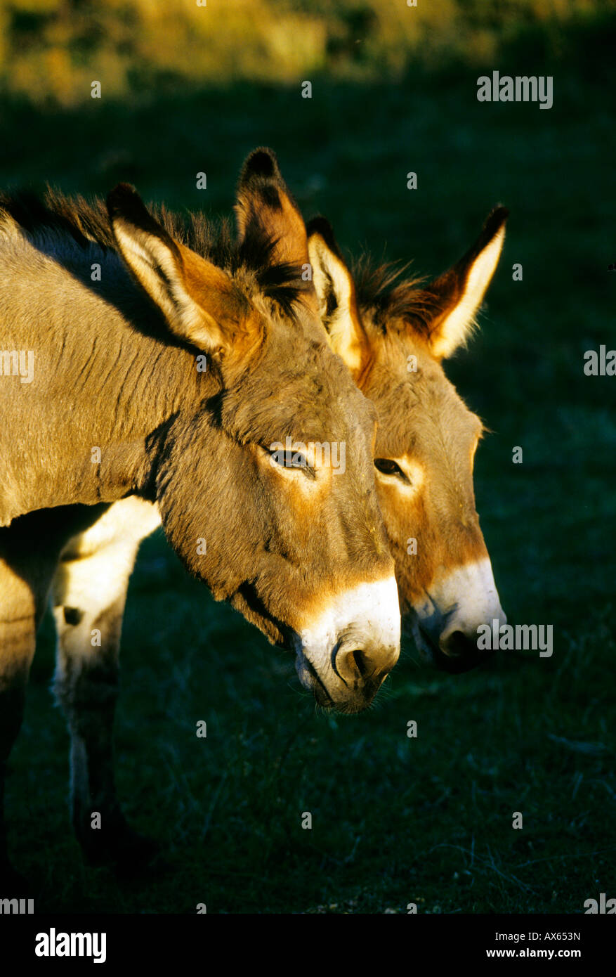 Donkeys - Stock Image