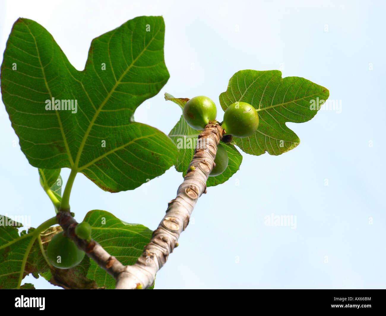 fig fruit tree - Stock Image