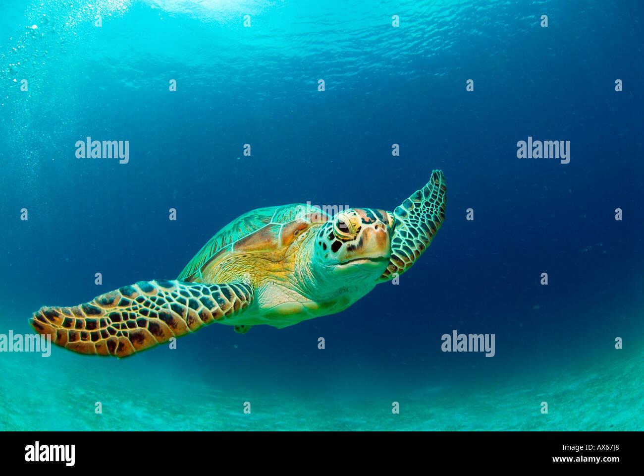 Philippines, green sea turtle (Chelonia mydas) swimming - Stock Image
