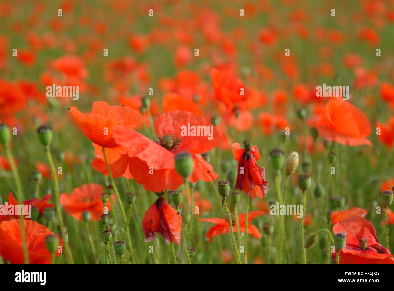 A bunch of Poppies in a summer meadow field near Guildford