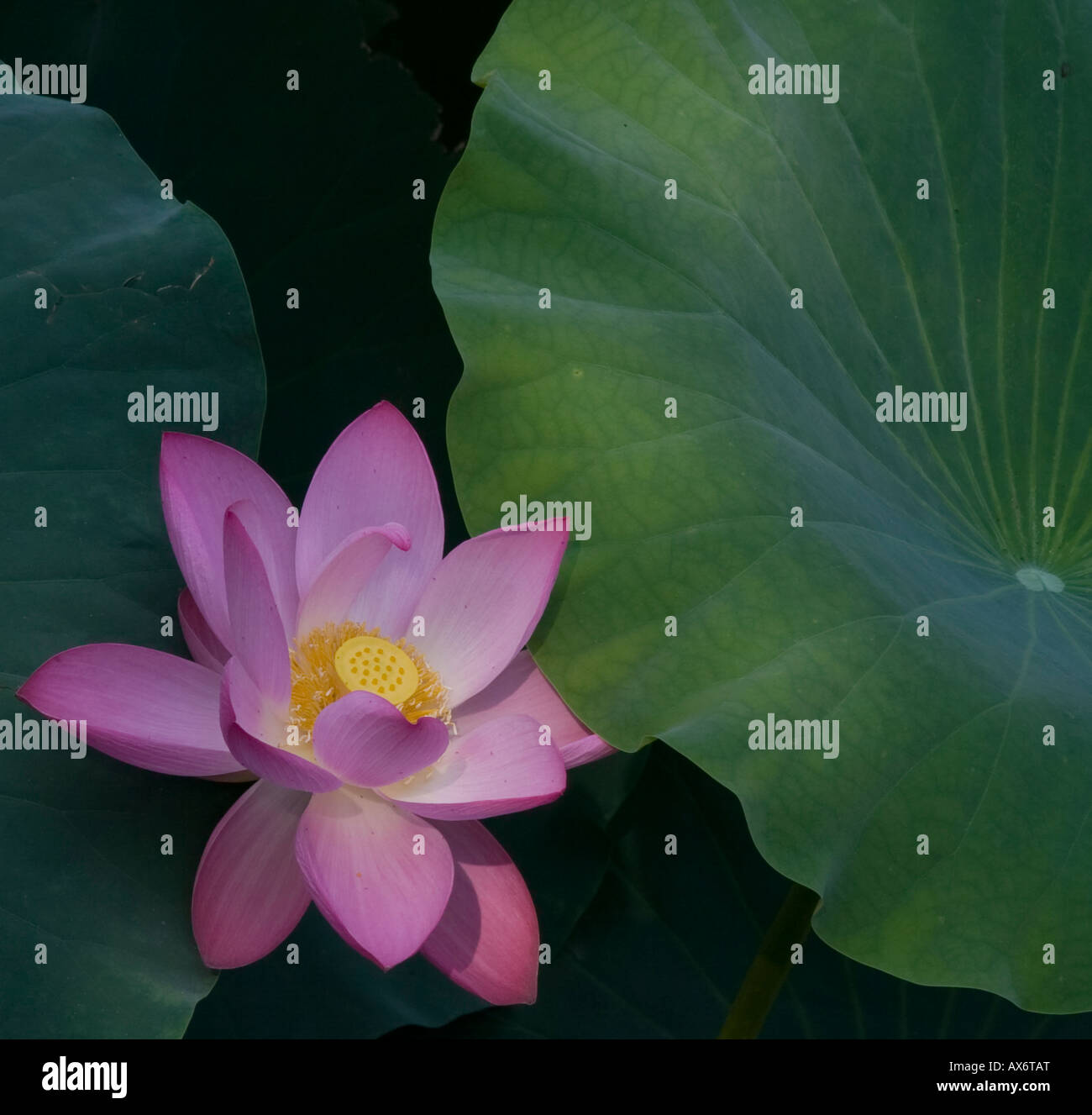 Chinese Lotus Flower Stock Photos Chinese Lotus Flower Stock
