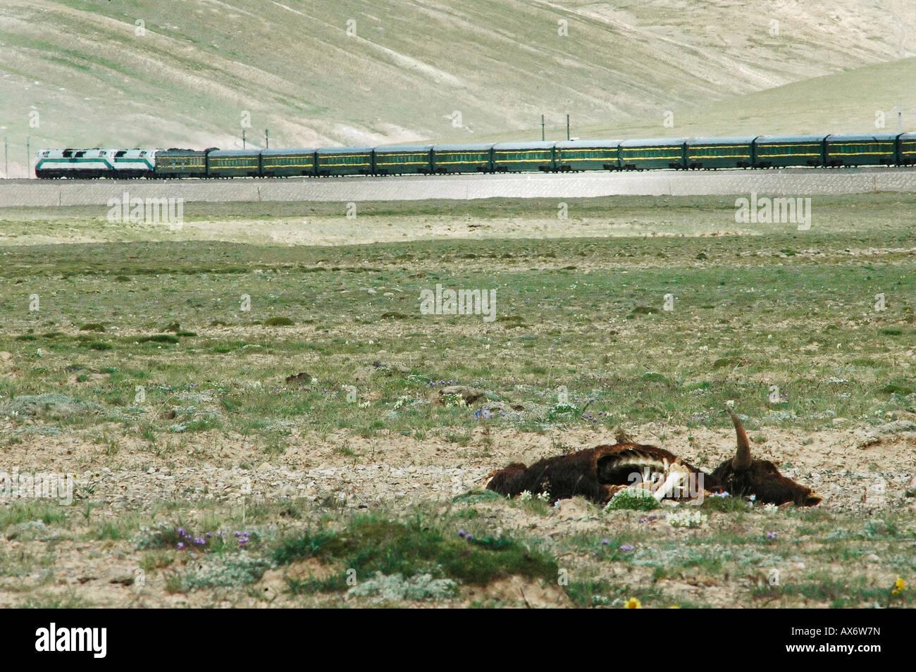 A train on the Tibet railway (Tibet train) passes a dead yak as it crosses the 5072m Tangula pass, the railway's - Stock Image