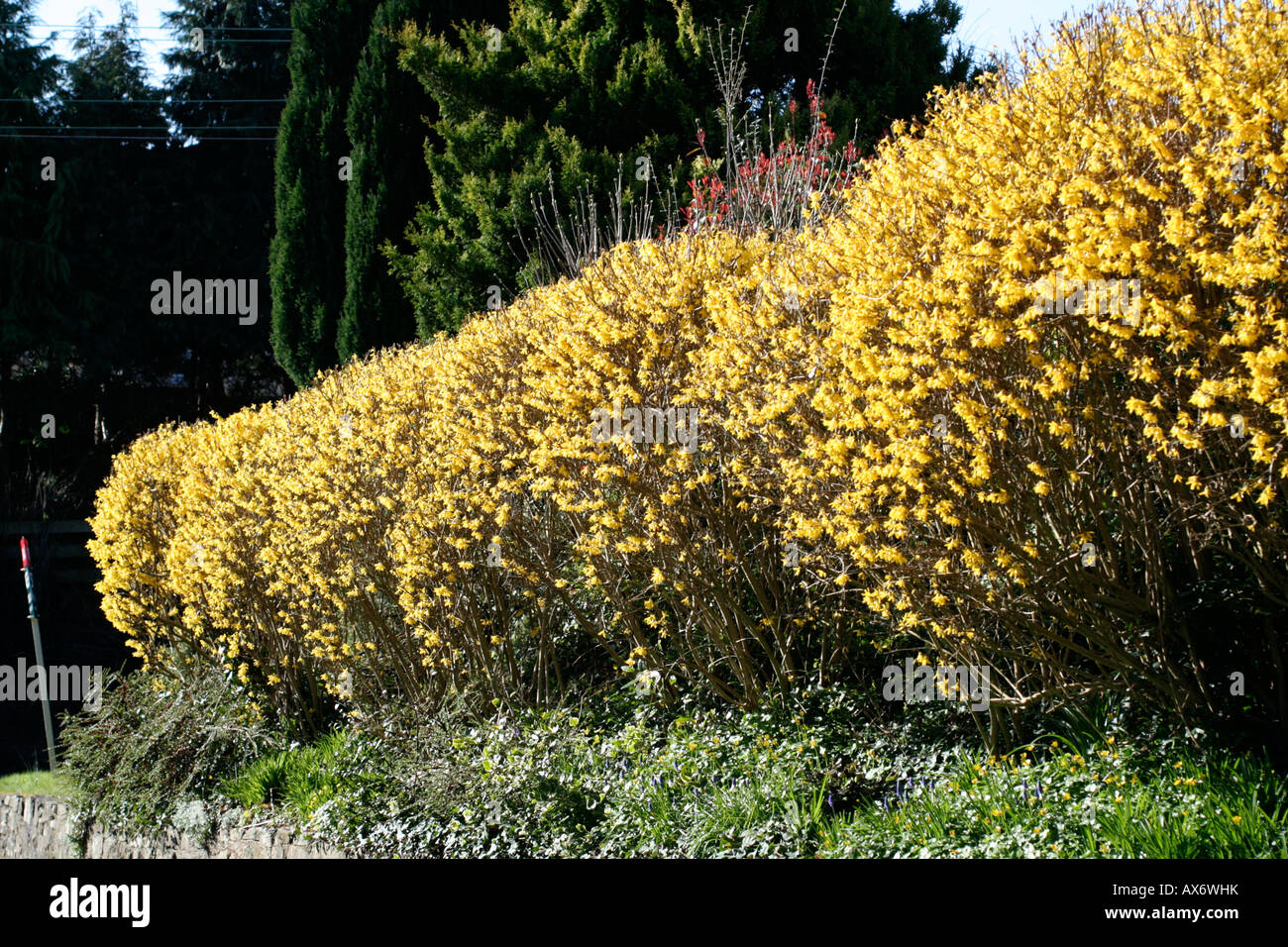 FORSYTHIA HEDGE BLOOMING LATE MARCH - Stock Image