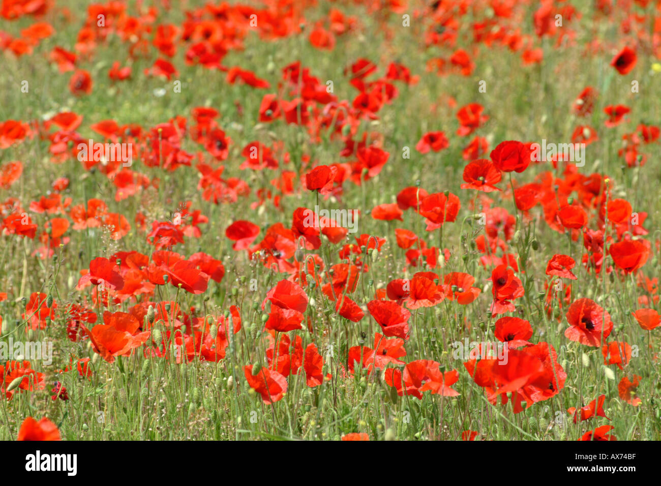 Field of Poppies Flowering near Freshwater Isle of Wight Southern England UK - Stock Image