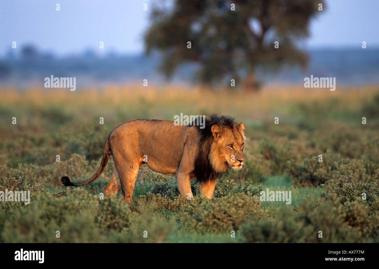 Lion at Sunday Pan Central Kalahari Game Reserve Botswana - Stock Image
