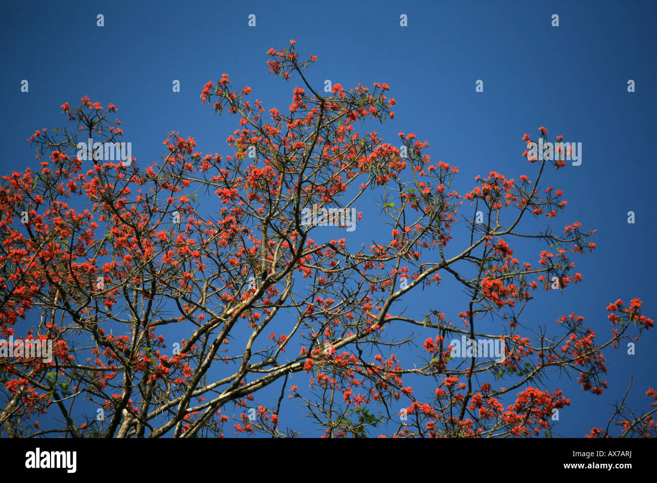 Colorful flowers on tree in the Darien national park Republic of Panama Stock Photo