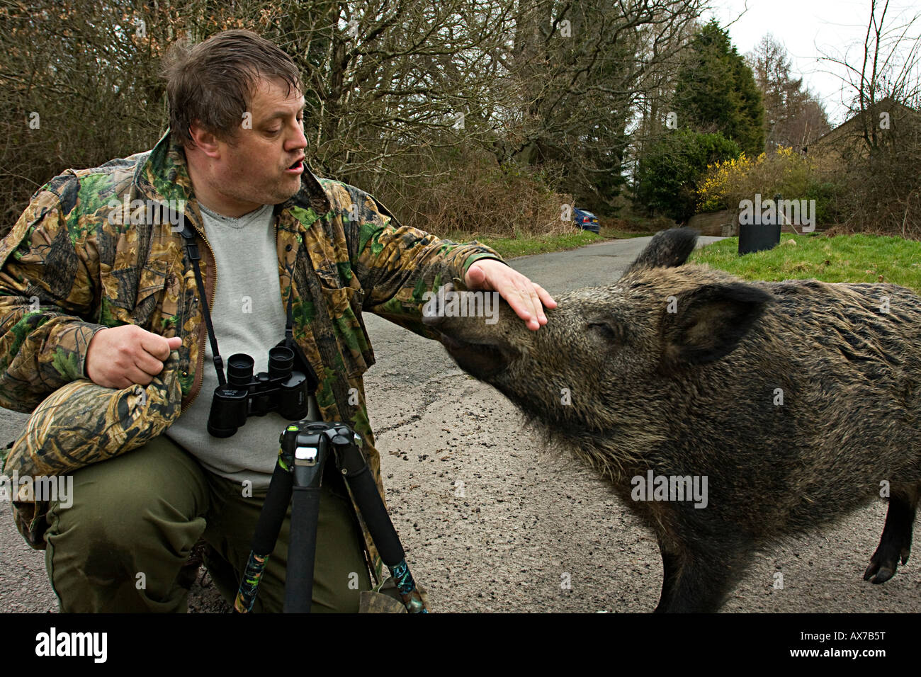 WILD BOAR with wildlife enthusiast. Forest of Dean, UK - Stock Image