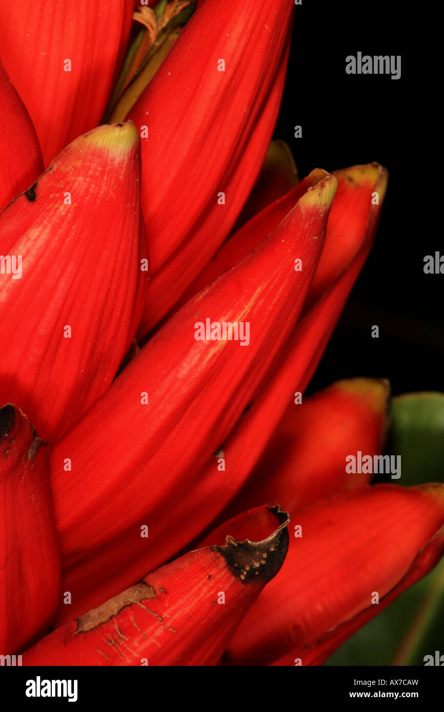 Red Heliconia, Volcan Baru national park, Chiriqui province, Republic of Panama. - Stock Image