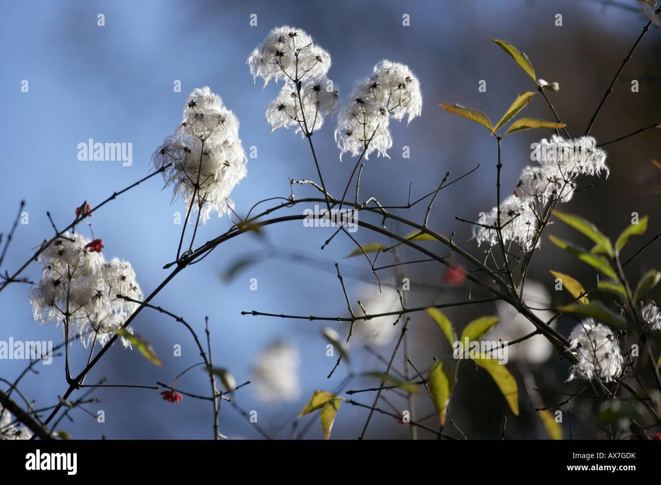 Traveller's Joy Clematis vitalba seed heads - Stock Image