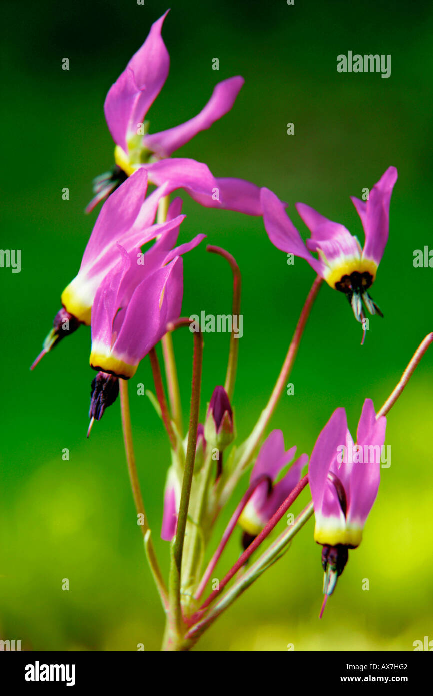 Close-up of Shooting Stars (Dodecatheon meadia) - Stock Image