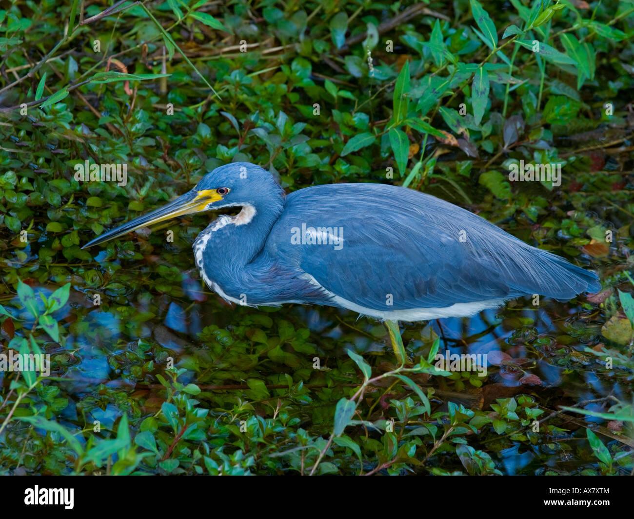 Louisiana Heron Hydranassa tricolor - Stock Image