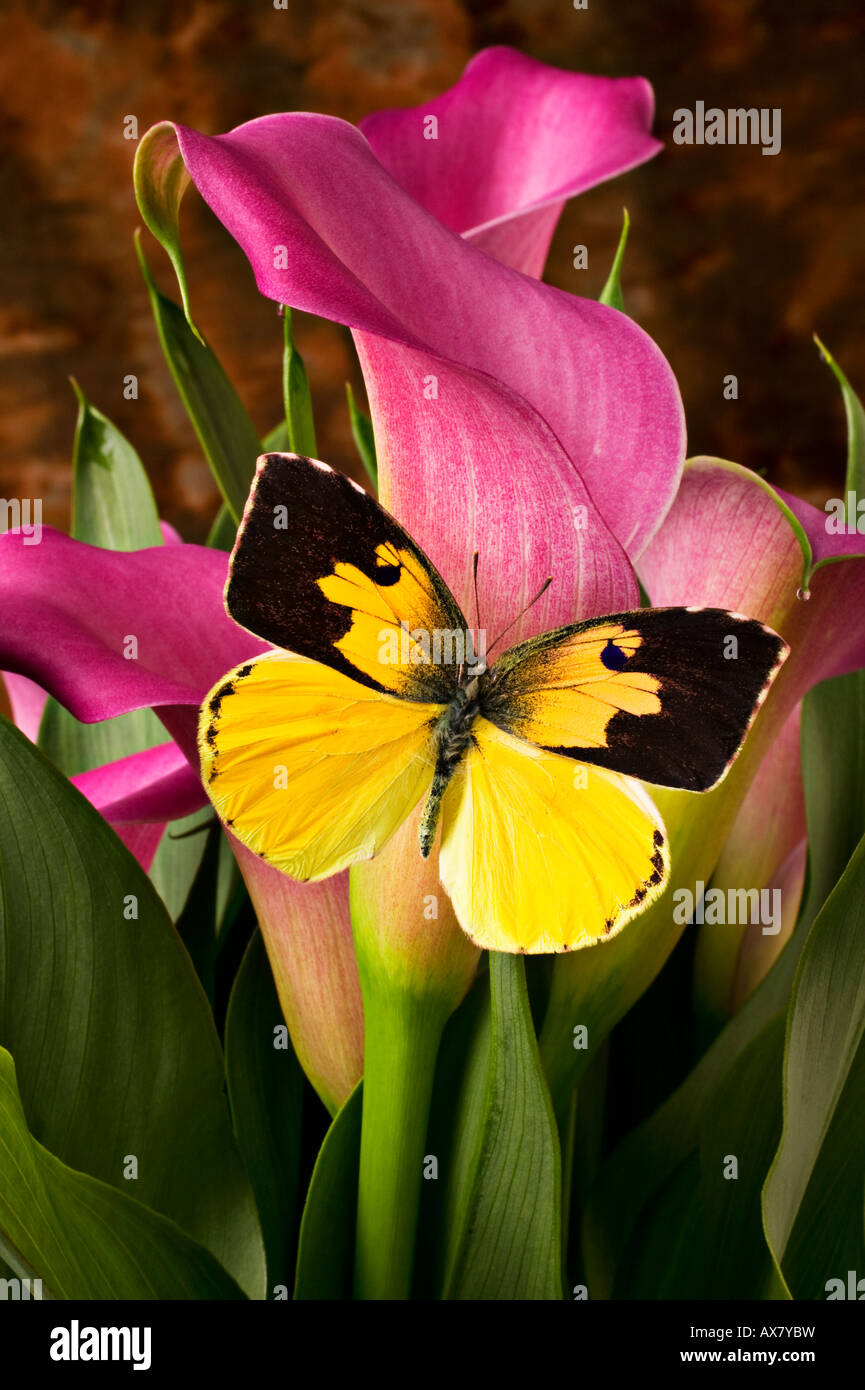 Pink Calla Lily Bouquet Stock Photos Pink Calla Lily Bouquet Stock