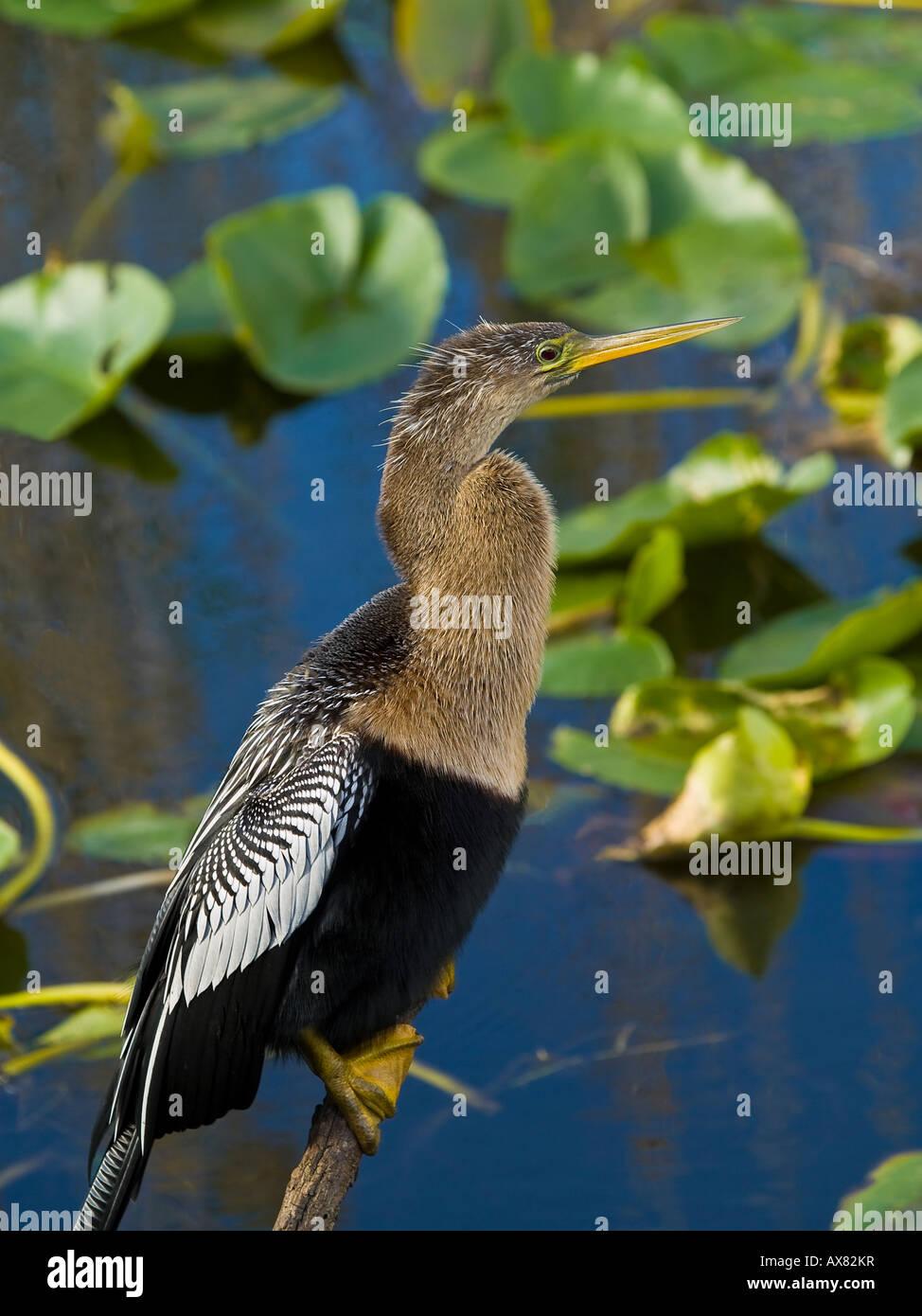 Anhinga Anhinga anhinga - Stock Image