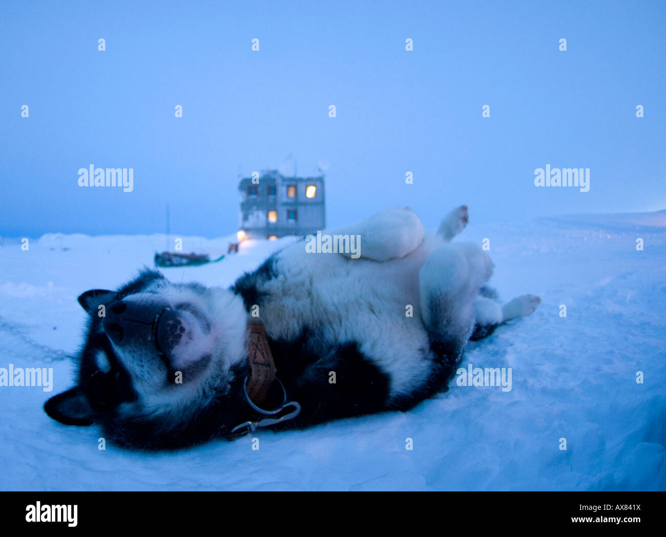 Greenland sled dog, husky rolling in the snow at Mestersvig, North east greenland - Stock Image